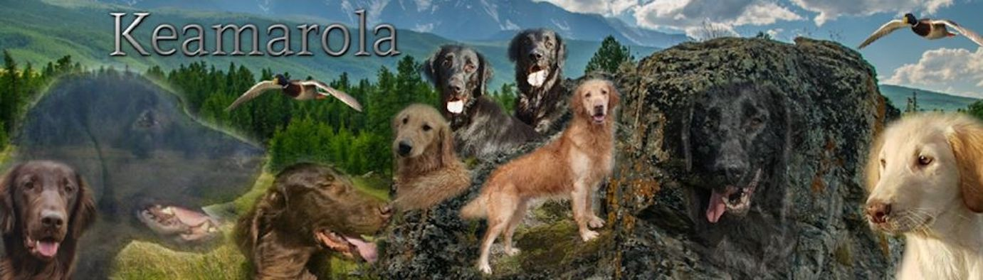Keamarola Flatcoated Retrievers